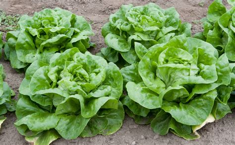 grow greens file lettuce 4988502260 jpg wikimedia commons