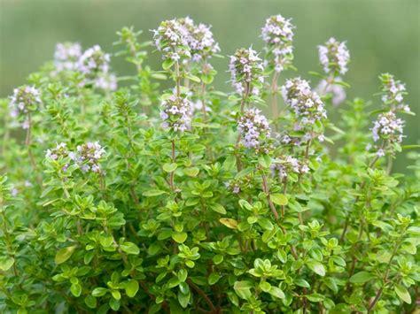 13 easy herbs to grow indoors hgtv