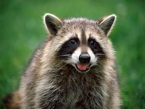 Raccoon | The Life of Animals