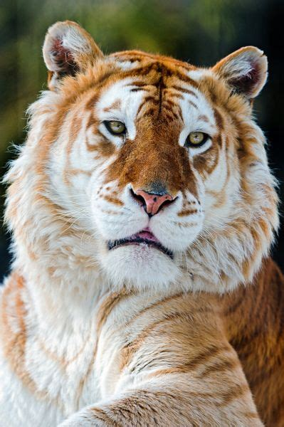 The Golden Tiger Animals Nature Wildlife Rare