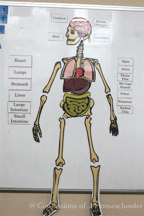 life size human anatomy activity confessions