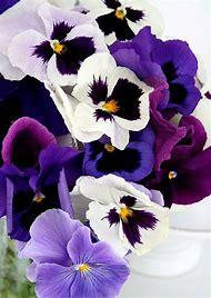 Spring Flowers Pansies