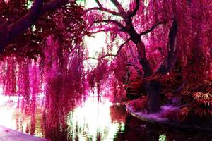 pink color images pink trees hd wallpaper and background photos 23859638