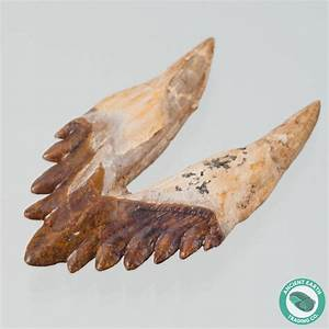 Museum 3.7 in. 6 Serrated Basilosaurus Tooth Fossil Whale ...