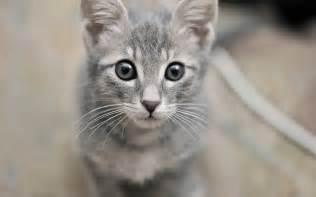 gray cats grey cat cats wallpaper