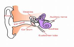 Human Ear It U0026 39 S Structure And Its Functions   Byju U0026 39 S
