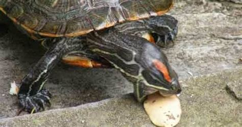 pakan yang wajib dihindari untuk kura kura