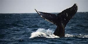 Sciences Pourquoi Les Baleines Bleues Sont Elles Si