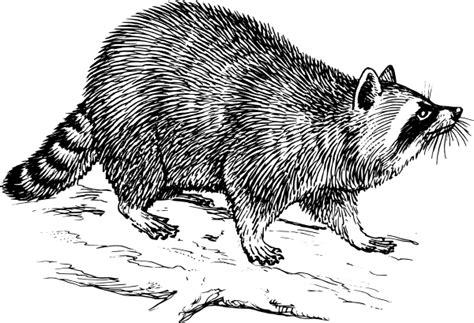 raccoon clip art  clkercom vector clip art