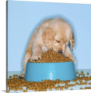 golden retriever puppy eating dog food   overflowing