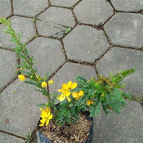 jual tanaman akasia golden bibitbunga