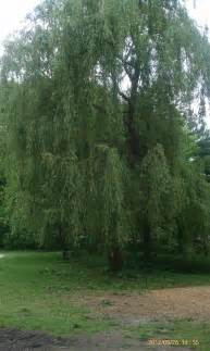 Weeping Willow Tree Types