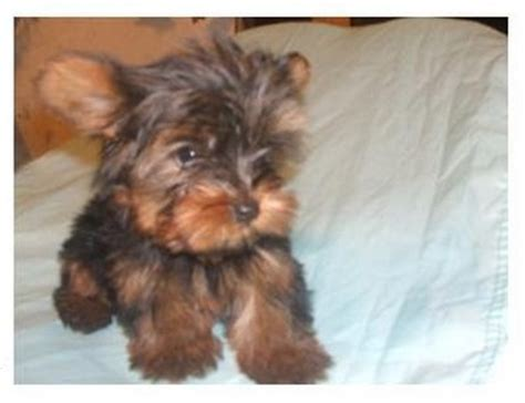 cute baby yorkie puppies  adoption shellycains prlog