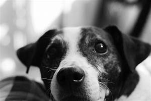 Jack Russell Black And White And Brown   www.imgkid.com ...