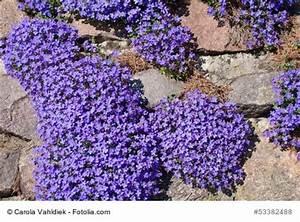 Pflanzen Für Trockenmauer : blaukissen standort pflanzen pflege ~ Orissabook.com Haus und Dekorationen