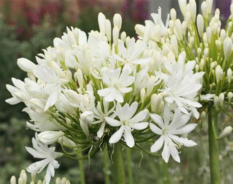 white agapanthus varieties agapanthus praecox getty white 30 seeds dwarf
