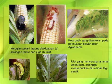 mengendalikan hama penyakit tanaman jagung