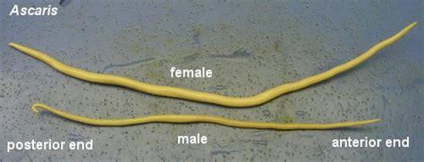 Ascaris Lumbricoides Life Cycle