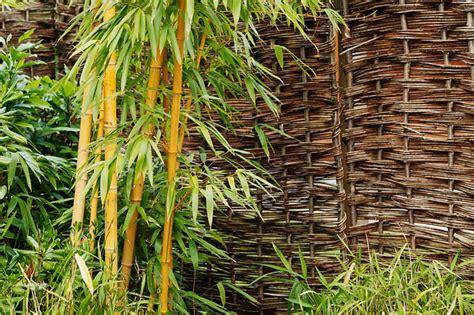 bambou en pot ou jardini 232 re quelle vari 233 t 233 comment l entretenir