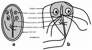 Labeled Diagrams Of Giardia Cyst  A   And Trophozoite  B