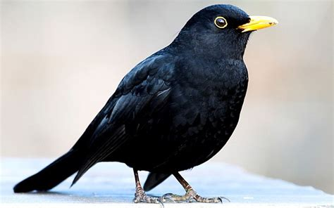 video aggressive blackbird attacks people in san