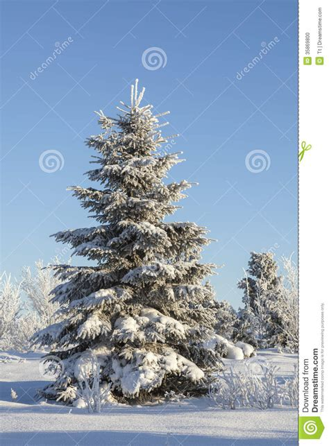 winter spruce tree stock photo image  blue clear