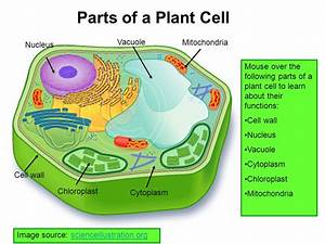 Plant Cell Diagram Ribosomes