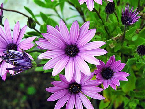 spring blooming osteospermum purple flower  wallpapers