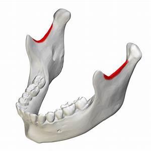 File:Mandibular notch - close-up - superior view.png ...