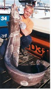 Big Fishes of the World: CONGER EEL (Conger conger)