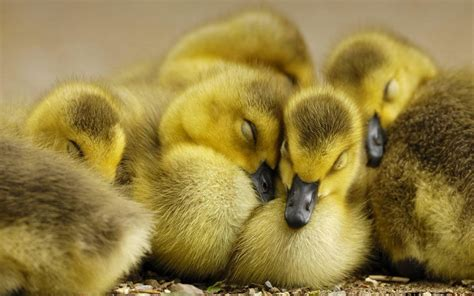 Baby Animal Pictures Wallpapers - baby duck wallpapers baby animals