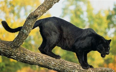 Pantera Animal Wallpaper - pantera negro en los 225 rboles de fondo de pantalla fondos