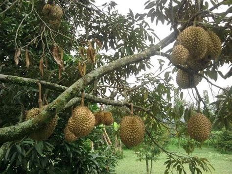 warso farm bogor tempat wisata kebun durian yoshiewafa
