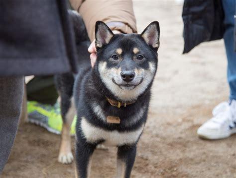 shiba inu health problems  issues canna pet