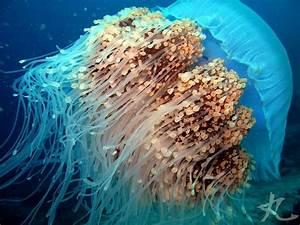 nomura's jellyfish (Nemopilema nomurai) | Animals That ...