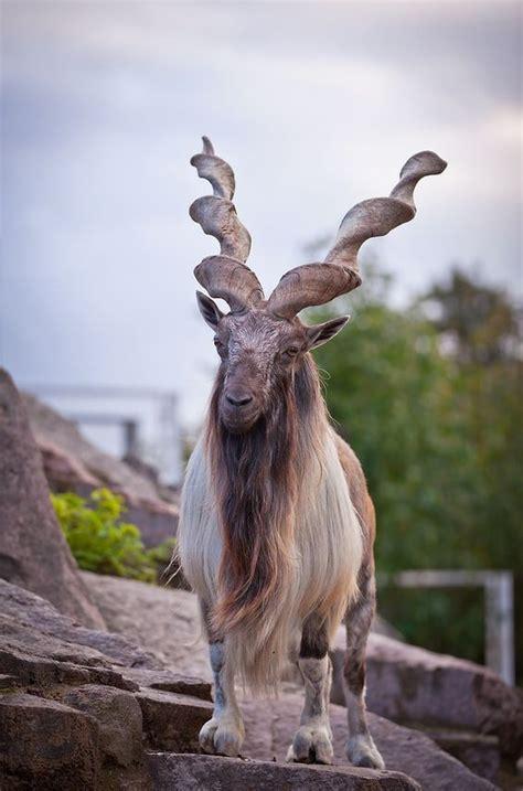 juts  goat  unusual animals nature animals
