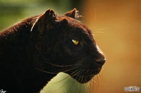 Melnā pantera - Spoki - bildes 2