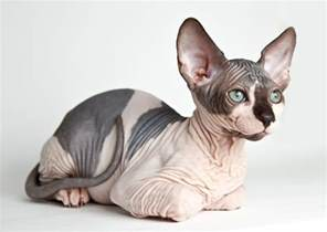 sphynx cats hairless cat breeds purrfect cat breeds