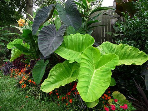 will elephant ears come back pics for gt landscaping with elephant ears plant