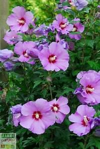 Comment Reconnaitre Un Hibiscus D Intérieur Ou D Extérieur : l alth a nous offre sa profusion de fleurs ~ Dallasstarsshop.com Idées de Décoration