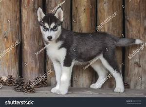 one puppy dog of siberian husky breed with black and white With husky hardwood flooring