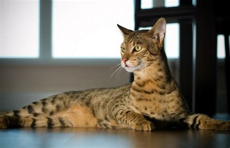 expensive cats most expensive cat breeds 4mylikes part 10