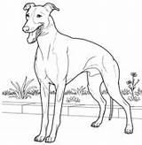 Coloring Italiano Whippet Greyhound Colorear Lebrel Dibujos Galgo Italian Hunde Dog Tegninger Printable Animales Domesticos Supercoloring Colouring Perro Perros Galgos sketch template