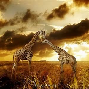"""Фотография """"жирафьи ласки"""". Полная информация о работе"""