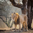 Asiatic lion - Wikipedia