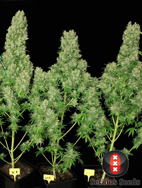 russian plant serious seeds white russian cannabis seeds up in smoke