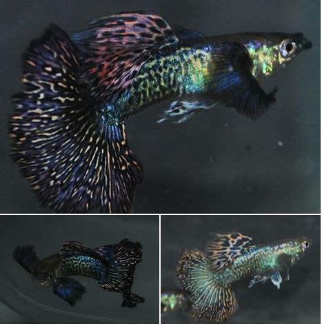 dumbo dragon guppy aquariums  fish freshwater