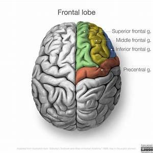 Neuroanatomy  Superior Cortex  Diagrams