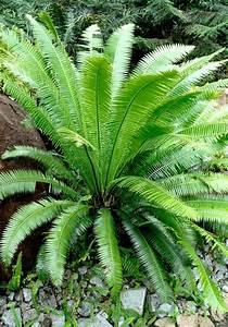 Cycas planter et rempoter ooreka for Beautiful jardin autour d une piscine 5 cycas planter et rempoter ooreka