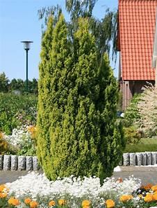 Gelbe Winterharte Pflanzen : gelbe kegelzypresse 39 ellwood 39 s gold 39 mooszypresse scheinzypresse chamaecyparis lawsoniana ~ Markanthonyermac.com Haus und Dekorationen